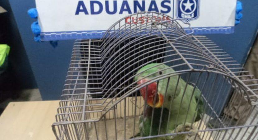 Loros son rescatados de un camión cuando intentaban ingresarlos de contrabando a Chile