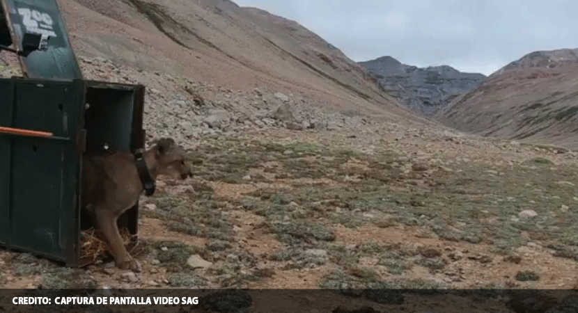 Puma fue liberado en su hábitat natural luego de ser rescatado en la comuna de Lo Barnechea