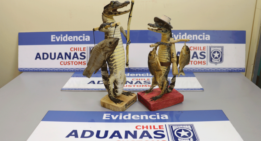 Personal de Aduanas logra incautación de yacarés disecados en paso de Colchane