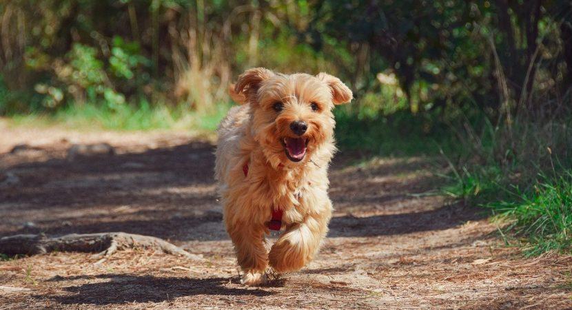 Tendencias || Perrito recorrió 59 kilómetros solo para llegar a su casa en China