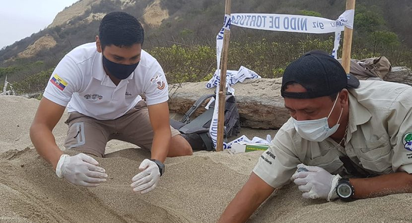 Posible evento histórico en Ecuador: encuentran nido de tortugas laúd