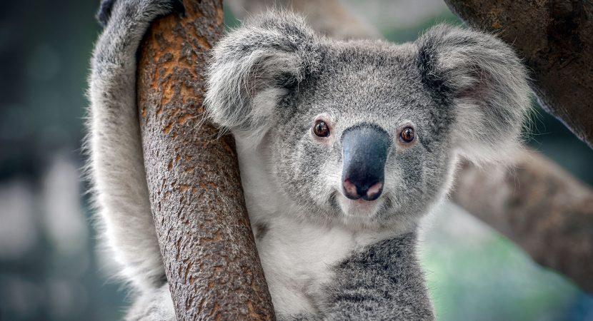 """""""Verano Negro"""" en Australia dejó más de 61.000 koalas heridos por los incendios forestales"""