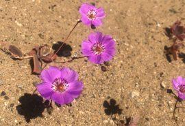 Subsecretario del Medio Ambiente lanza oficialmente campaña de monitoreo del desierto florido